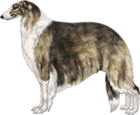 Gold Brindle with White Irish Markings Borzoi