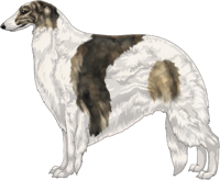 Gold Brindle with White Piebald Markings Borzoi
