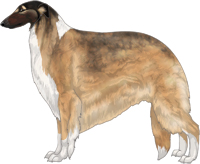 Gold Sable with Black Mask and Irish White Markings Borzoi