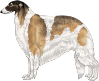 Gold Sable with Black Mask and Piebald White Markings Borzoi