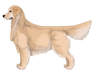 Golden Golden Retriever