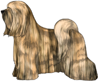 Golden Brindle Tibetan Terrier