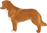 Golden Red with Flesh Nose Nova Scotia Duck Tolling Retriever