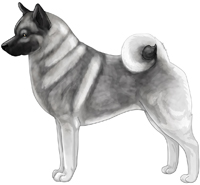 Gray Black and Silver Norwegian Elkhound