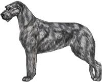 Gray & Brindle Irish Wolfhound