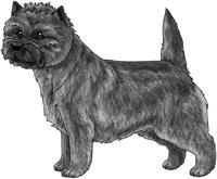 Gray Cairn Terrier