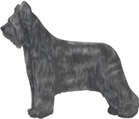 Grey Briard