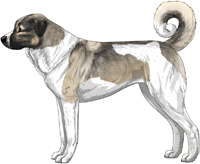 Gray Fawn and White Anatolian Shepherd