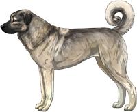 Gray Fawn Anatolian Shepherd