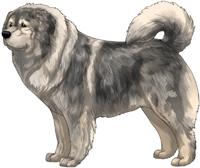 Grey Sable Caucasian Mountain Dog