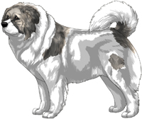 Grey Sable Pied Masked Caucasian Mountain Dog
