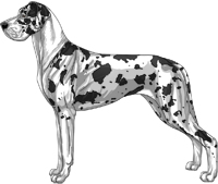 Harlequin Mantle Great Dane