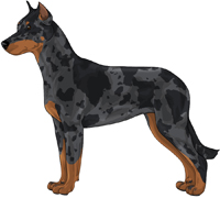 Harlequin w/ Rust points Beauceron