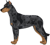 Harlequin w/ Tan points Beauceron