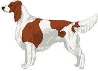 Red & White Irish Red and White Setter