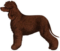 Liver Irish Water Spaniel