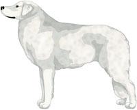 White Kuvasz