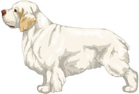 White and Lemon Clumber Spaniel