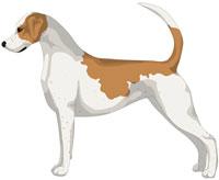 Lemon and White English Foxhound