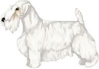 White with Lemon Markings Sealyham Terrier