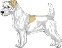 Lemon and White Rough Coat Jack Russell Terrier