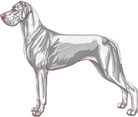 Lethal White Harlequin Great Dane