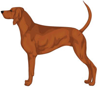 Light Red Redbone Coonhound