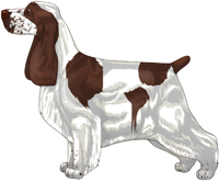Liver and White English Cocker Spaniel
