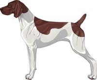 Liver & White Patched German Shorthaired Pointer