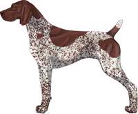 Liver & White Patched & Ticked German Shorthaired Pointer