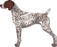 Liver & White Ticked German Shorthaired Pointer