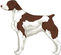 Liver and White Brittany