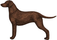 Liver Curly-Coated Retriever