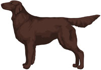 Liver Flat-Coated Retriever