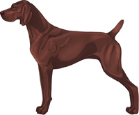 Liver German Shorthaired Pointer