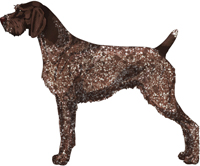 Liver Roan German Wirehaired Pointer