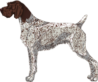 Liver and White - Ticked German Wirehaired Pointer