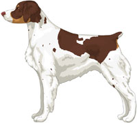 Liver Tri-Color Brittany