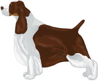 Liver Tricolor English Springer Spaniel