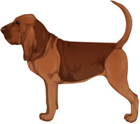 Liver and Tan Bloodhound