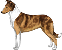 Mahogany Merle and White Smooth Collie