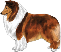Mahogany and White Rough Collie