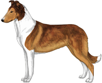 Mahogany and White Smooth Collie