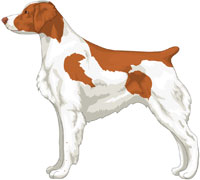Orange and White Brittany