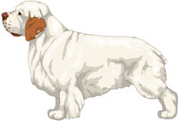 White and Orange Clumber Spaniel