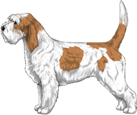 White & Orange Grand Basset Griffon Vendéen