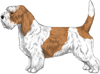 White & Orange Petit Basset Griffon Vendeen