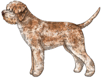 Orange Roan Lagotto Romagnolo