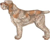 Orange Roan Spinone Italiano