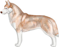 Pale Red and White Siberian Husky